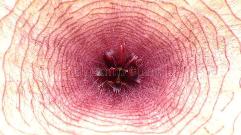 Λουλούδι Carrion - αφρικανικός αστερίας κλειστός στοκ φωτογραφίες με δικαίωμα ελεύθερης χρήσης