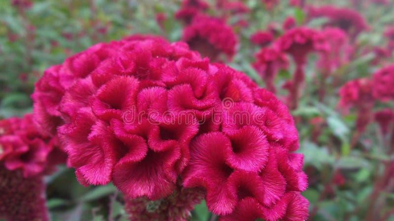 Λουλούδι Cockcomb στοκ εικόνες