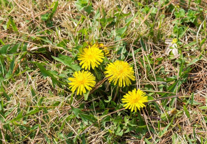 Λουλούδι Dendelion στοκ φωτογραφία με δικαίωμα ελεύθερης χρήσης
