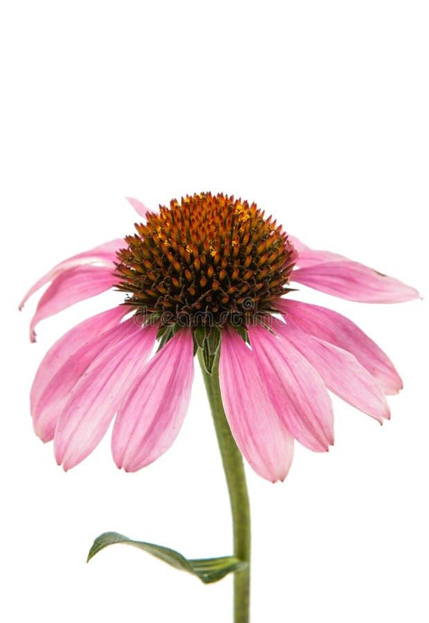Λουλούδι Echinacea στοκ φωτογραφίες