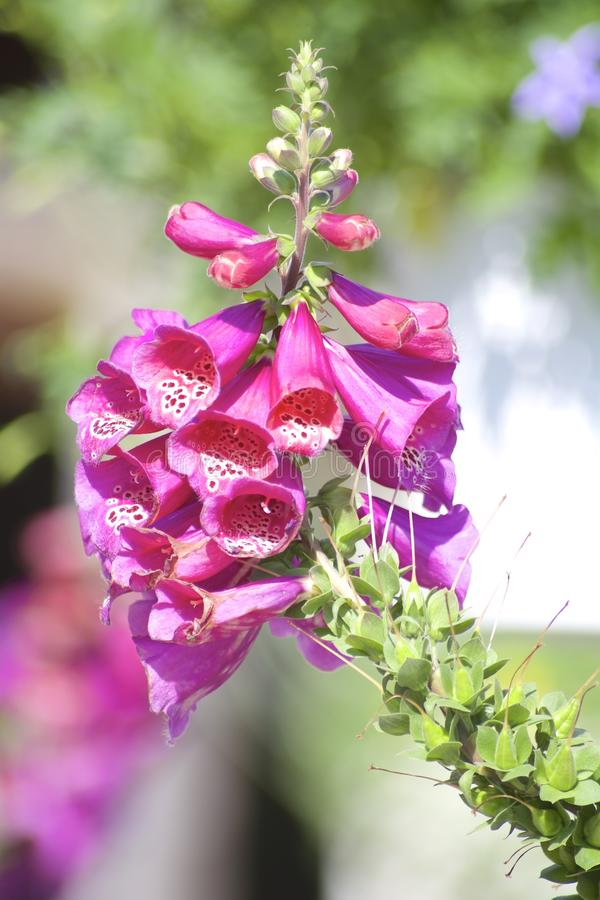 Λουλούδι Foxglove στοκ εικόνα με δικαίωμα ελεύθερης χρήσης
