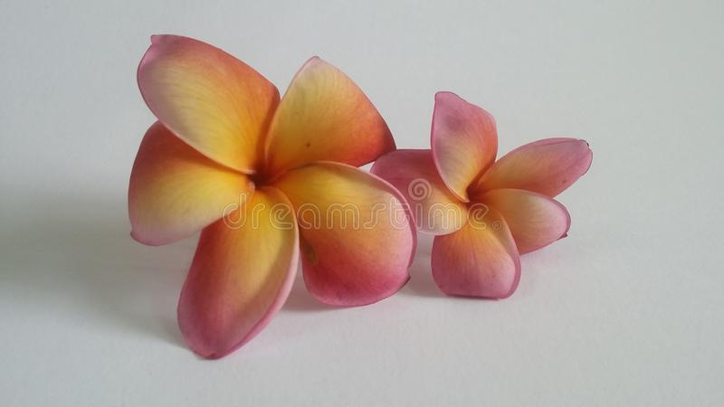 Λουλούδι Frangipani στοκ εικόνες