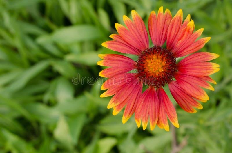 Λουλούδι Gaillardia στοκ φωτογραφία με δικαίωμα ελεύθερης χρήσης
