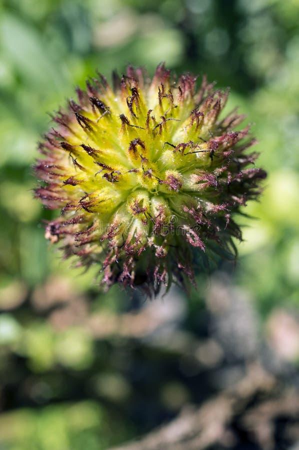 Λουλούδι Gaillardia Deflorate στοκ εικόνα με δικαίωμα ελεύθερης χρήσης