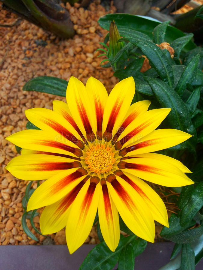 Λουλούδι Gazania στοκ εικόνα