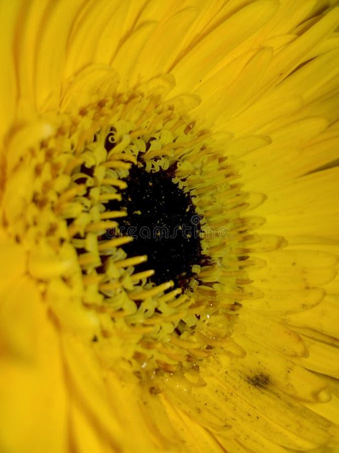 Λουλούδι Gerbera κίτρινο στοκ εικόνες
