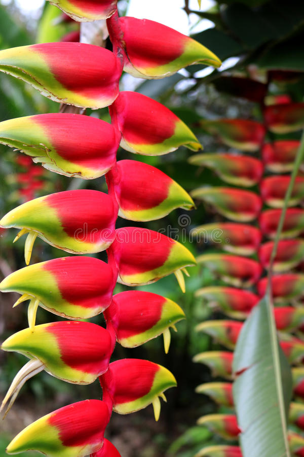 Λουλούδι Heliconia - πουλί του παραδείσου στοκ φωτογραφία με δικαίωμα ελεύθερης χρήσης