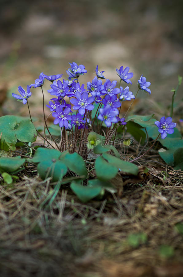 Λουλούδι Hepatica στοκ εικόνες