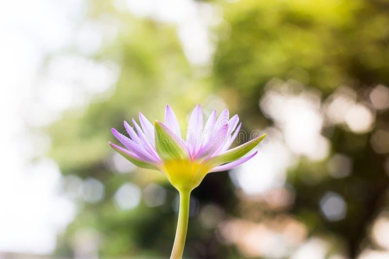 Λουλούδι Lotus ή κρίνος νερού στοκ φωτογραφίες