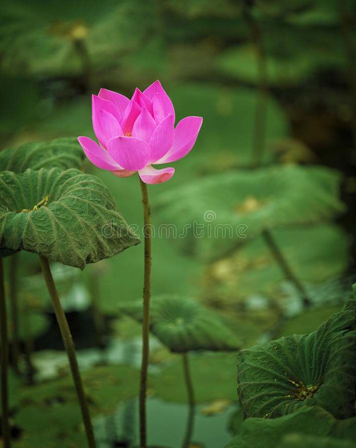 Λουλούδι Lotus μισό-που φυσιέται στοκ φωτογραφίες