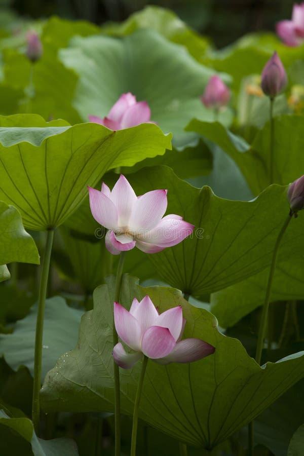 Λουλούδι Lotus στην Ασία στοκ φωτογραφίες με δικαίωμα ελεύθερης χρήσης