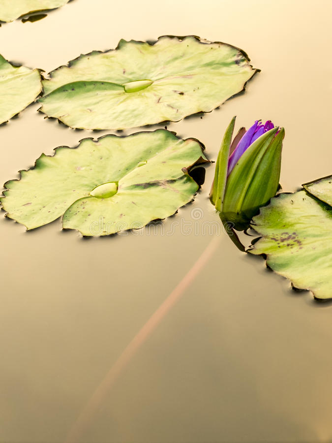 Λουλούδι Lotus στη λίμνη πόλεων στοκ εικόνες