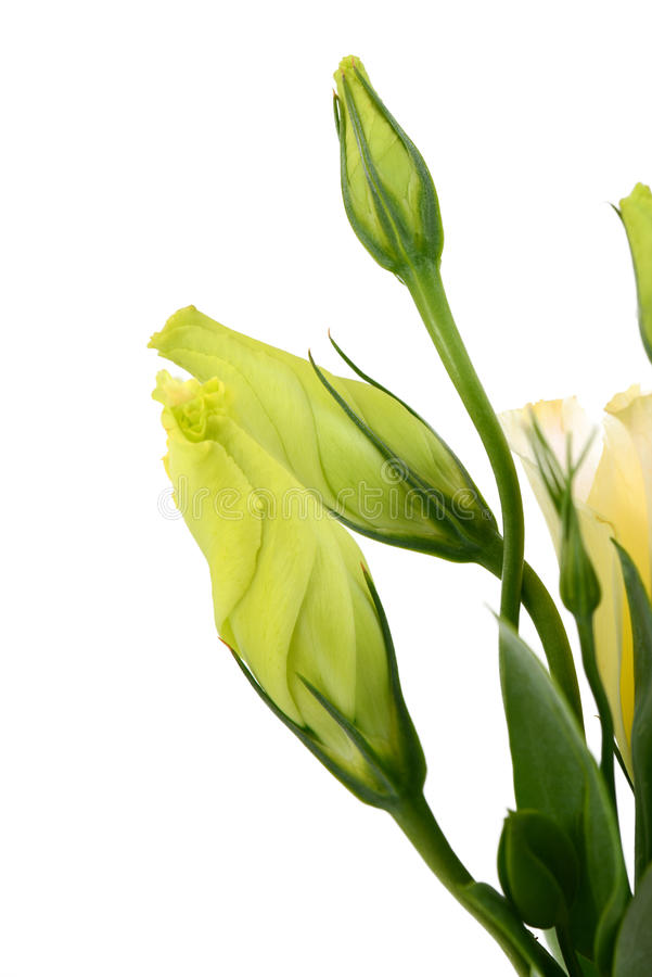 Λουλούδι Lysianthus στοκ εικόνες με δικαίωμα ελεύθερης χρήσης