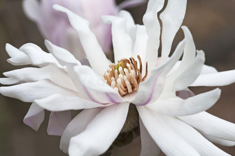 Λουλούδι magnolia αστεριών Centennia στοκ εικόνες