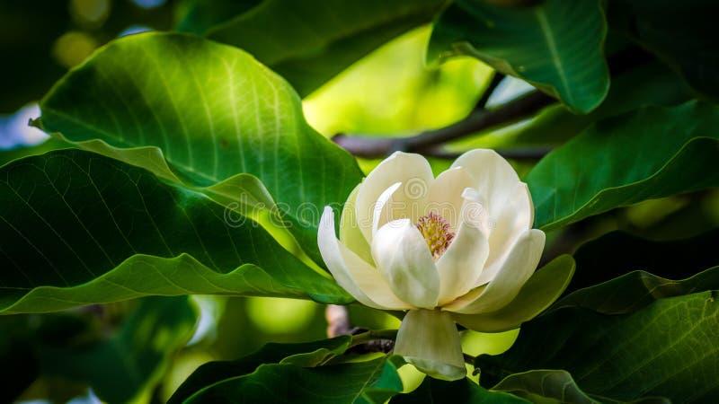 Λουλούδι Magnolia στοκ φωτογραφίες με δικαίωμα ελεύθερης χρήσης