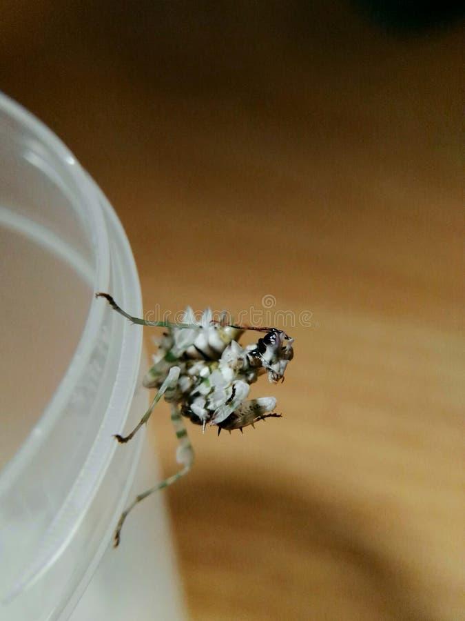 Λουλούδι Mantis στοκ φωτογραφία με δικαίωμα ελεύθερης χρήσης