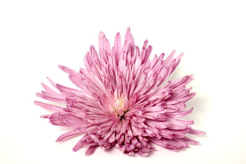 Λουλούδι Mum πτώσης στο άσπρο υπόβαθρο στοκ φωτογραφίες
