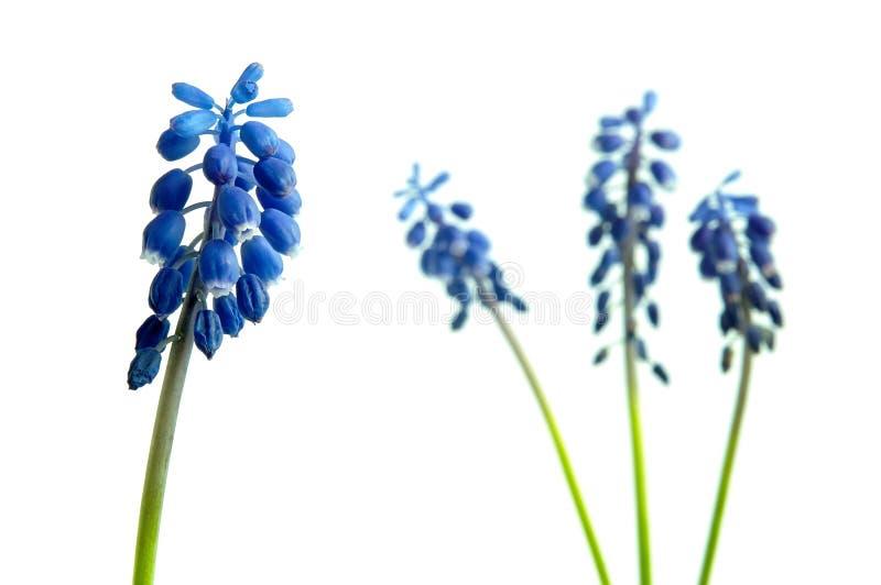 Λουλούδι Muscari στοκ φωτογραφία με δικαίωμα ελεύθερης χρήσης