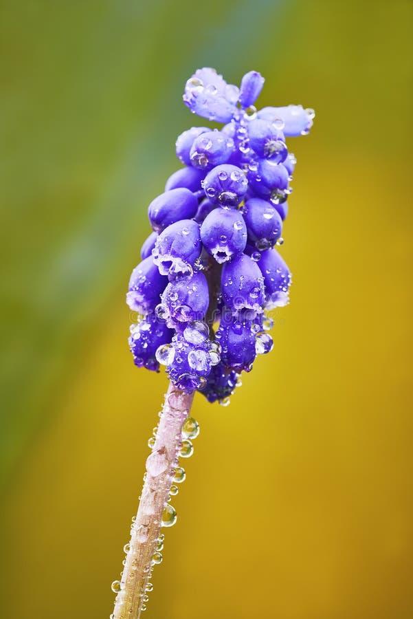 Λουλούδι Muscari στοκ εικόνα