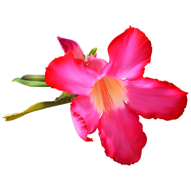 Λουλούδι Obesum Adenium ελεύθερη απεικόνιση δικαιώματος