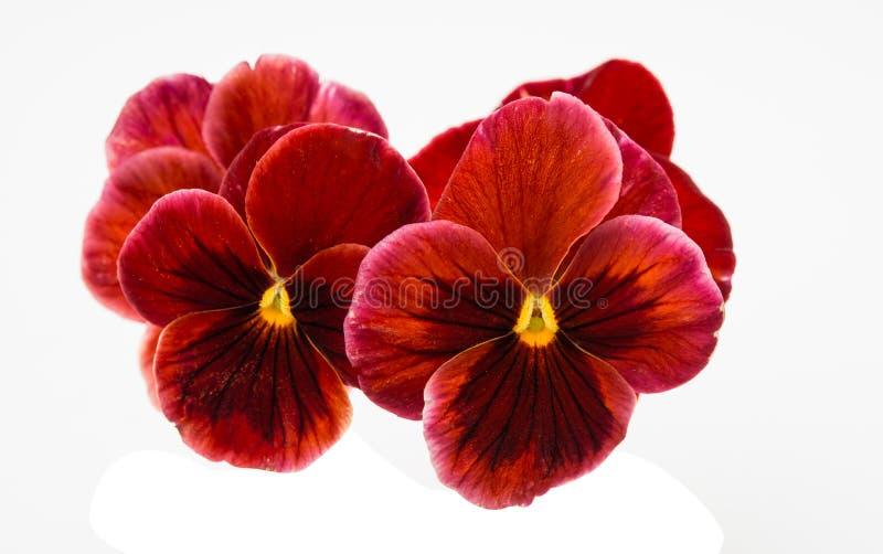 Λουλούδι Pansy που απομονώνεται στοκ φωτογραφίες