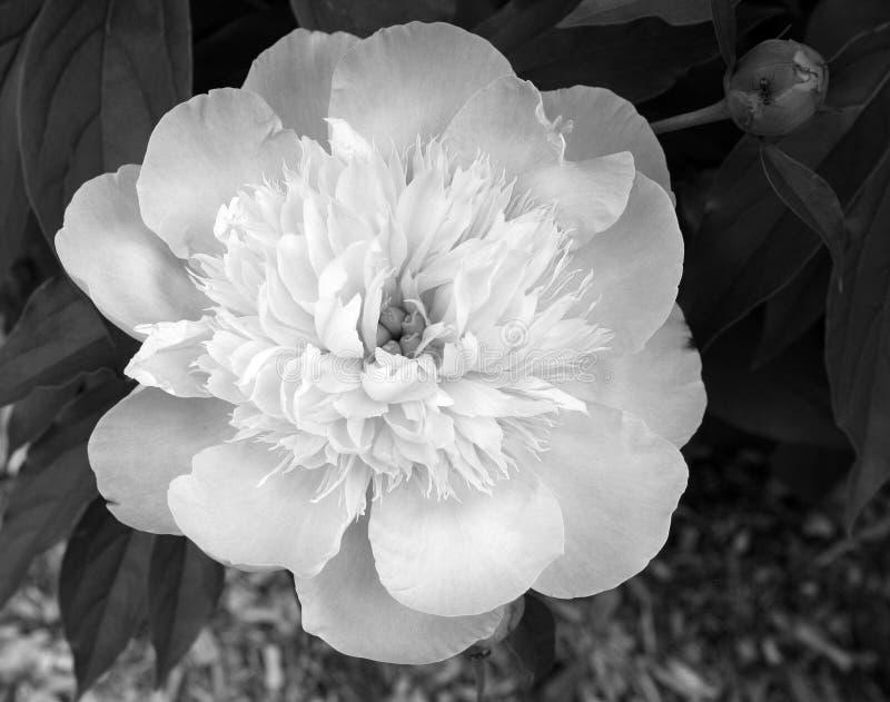 Λουλούδι Peony σε γραπτό στοκ εικόνες