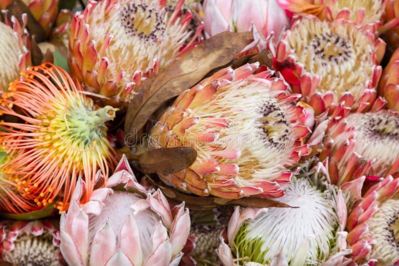 Λουλούδι Protea Βασιλιάς Protea (Protea cynaroides) στοκ φωτογραφίες