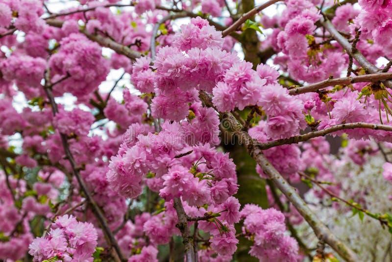 Λουλούδι Sakura - υπόβαθρο φύσης στοκ φωτογραφία με δικαίωμα ελεύθερης χρήσης
