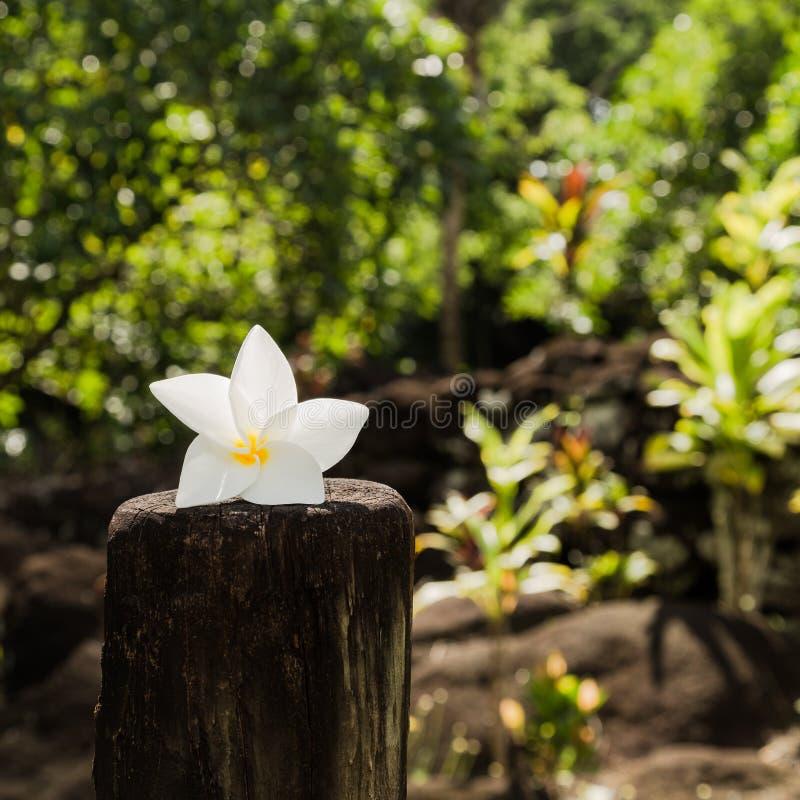 Λουλούδι Tiare - σύμβολο της Ταϊτή στοκ εικόνα