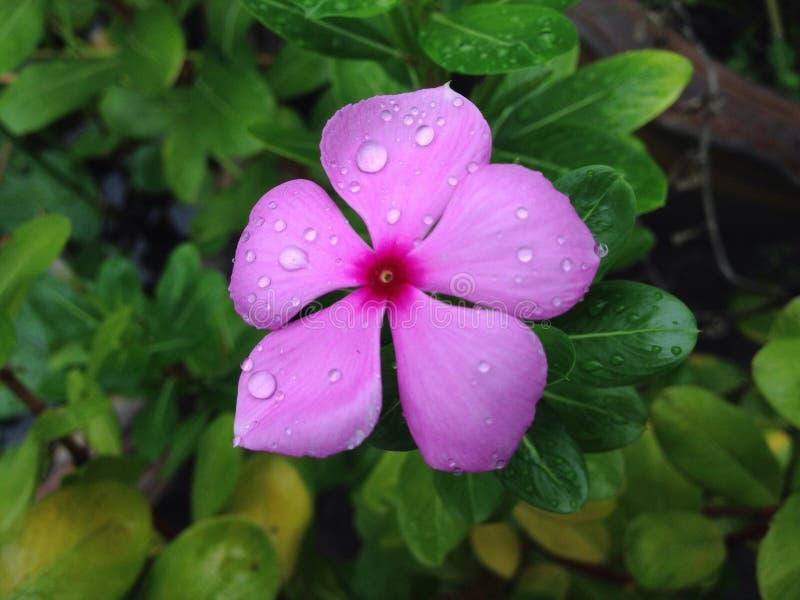 Λουλούδι Vinca στοκ φωτογραφία