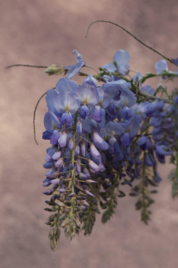 Λουλούδι Wisteria στοκ εικόνα με δικαίωμα ελεύθερης χρήσης