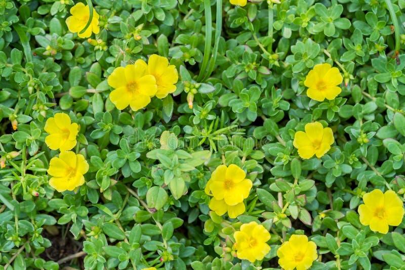 Λουλούδι Yellow Rose mose στοκ εικόνες