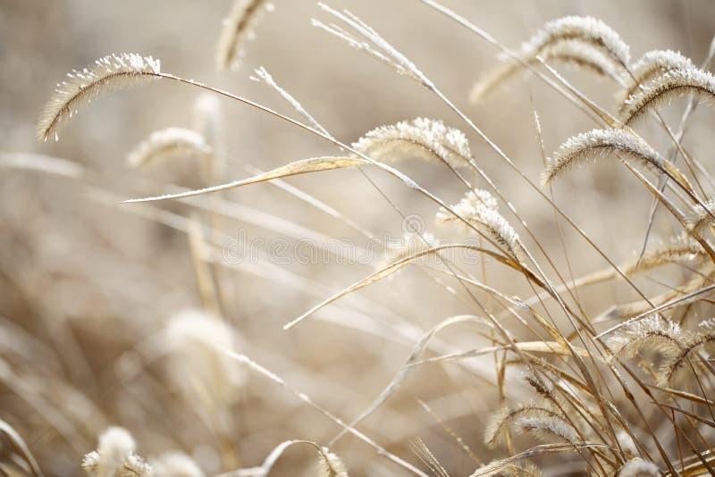 Λοφιοφόρη χλόη το χειμώνα στοκ εικόνα