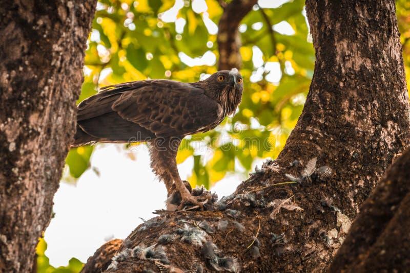 Λοφιοφόρος αετός γερακιών στη δασική περιοχή λόφων BR στοκ εικόνες με δικαίωμα ελεύθερης χρήσης