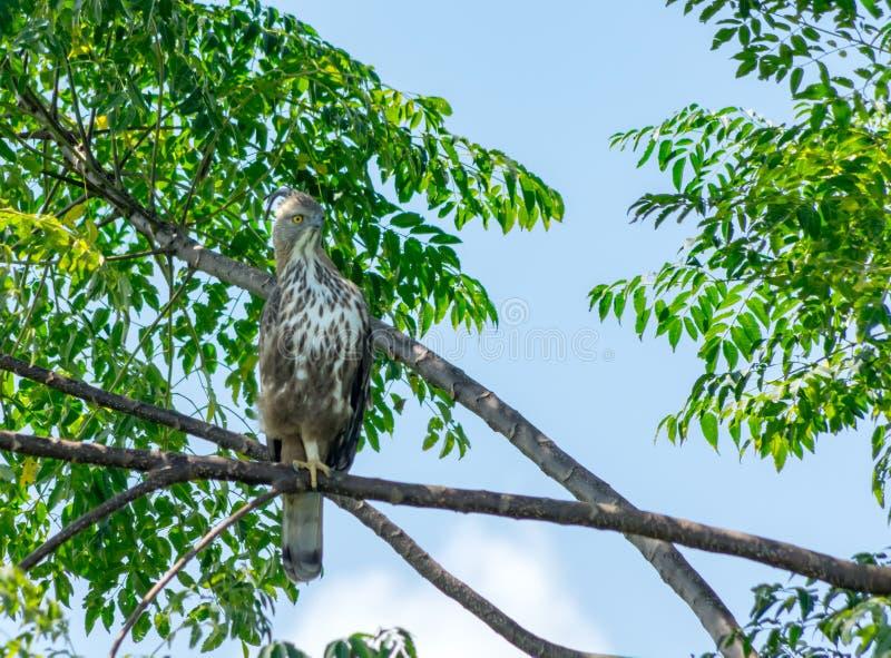 Λοφιοφόρος αετός γερακιών στοκ φωτογραφία με δικαίωμα ελεύθερης χρήσης