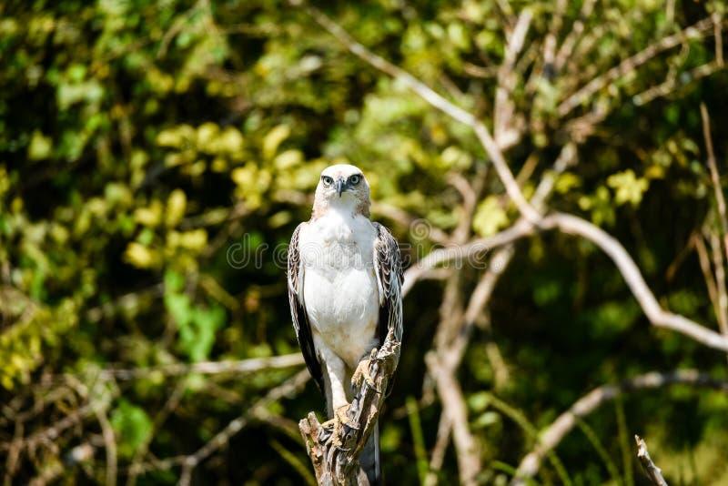 Λοφιοφόρος αετός γερακιών στοκ φωτογραφία