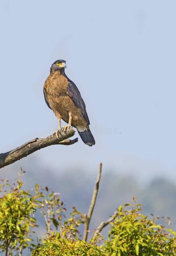 Λοφιοφόρος αετός φιδιών που σκαρφαλώνει στο ξηρό κούτσουρο δέντρων στοκ φωτογραφίες