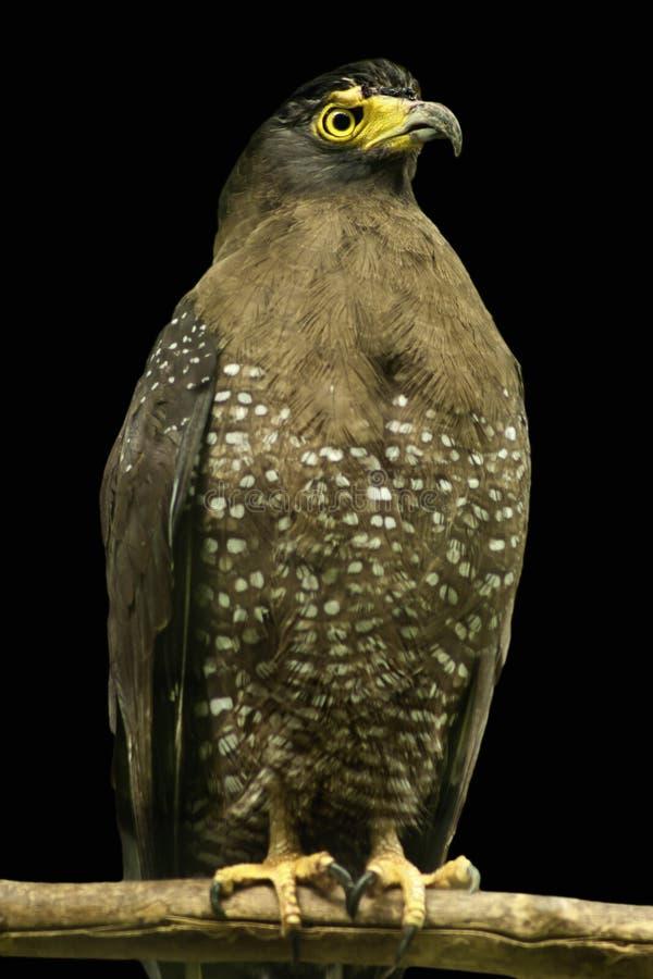 Λοφιοφόρος αετός φιδιών στοκ φωτογραφίες με δικαίωμα ελεύθερης χρήσης