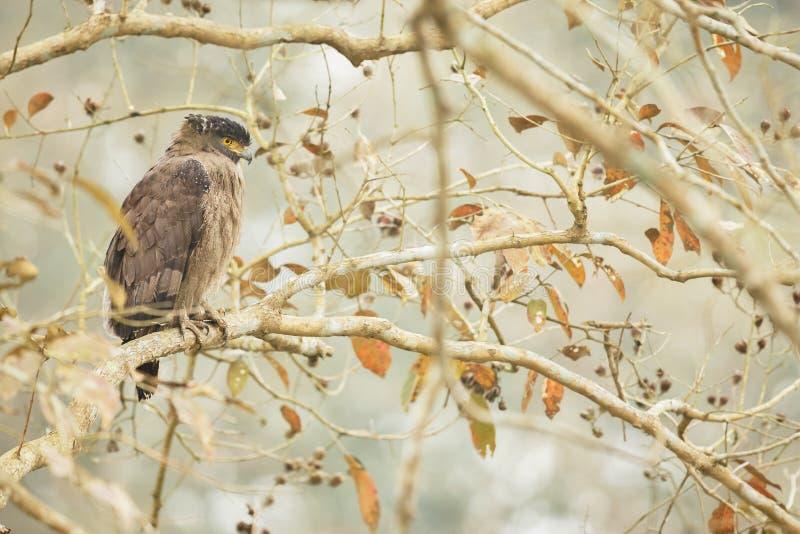 Λοφιοφόρος αετός φιδιών στο kaziranga στοκ φωτογραφία