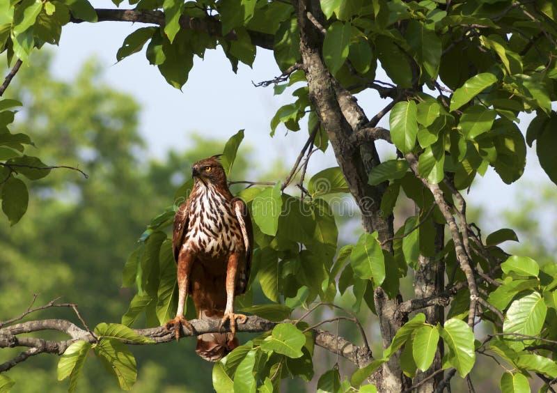 Λοφιοφόρος αετός φιδιών στοκ φωτογραφία με δικαίωμα ελεύθερης χρήσης