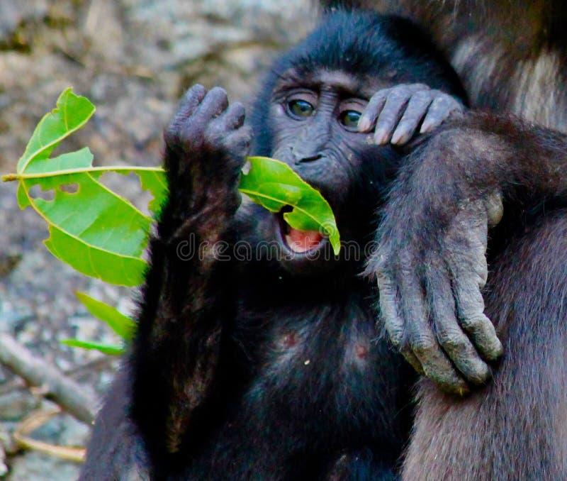 Λοφιοφόρος μαύρος πίθηκος macaque μωρών στοκ εικόνες με δικαίωμα ελεύθερης χρήσης