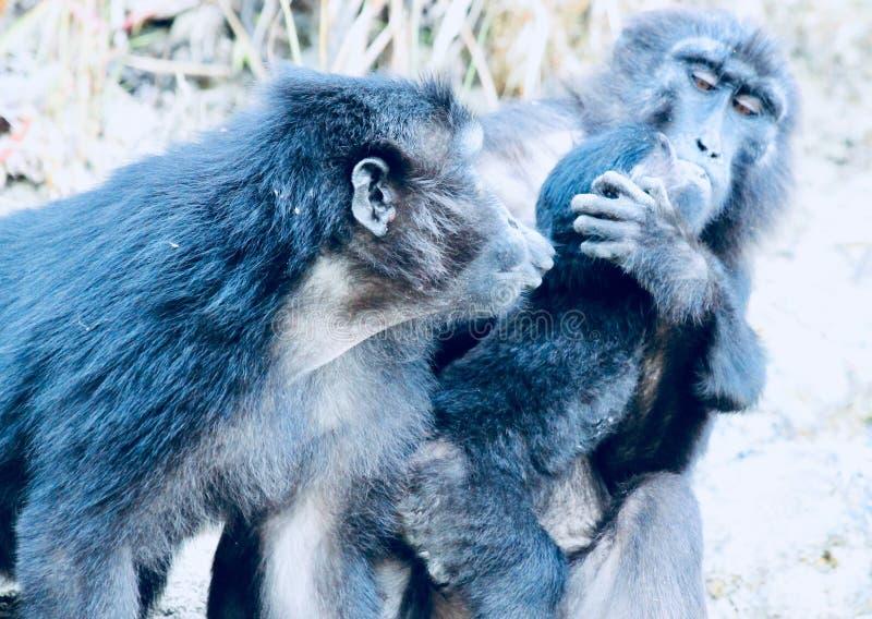 Λοφιοφόρος μαύρος πίθηκος macaque μωρών στοκ εικόνα