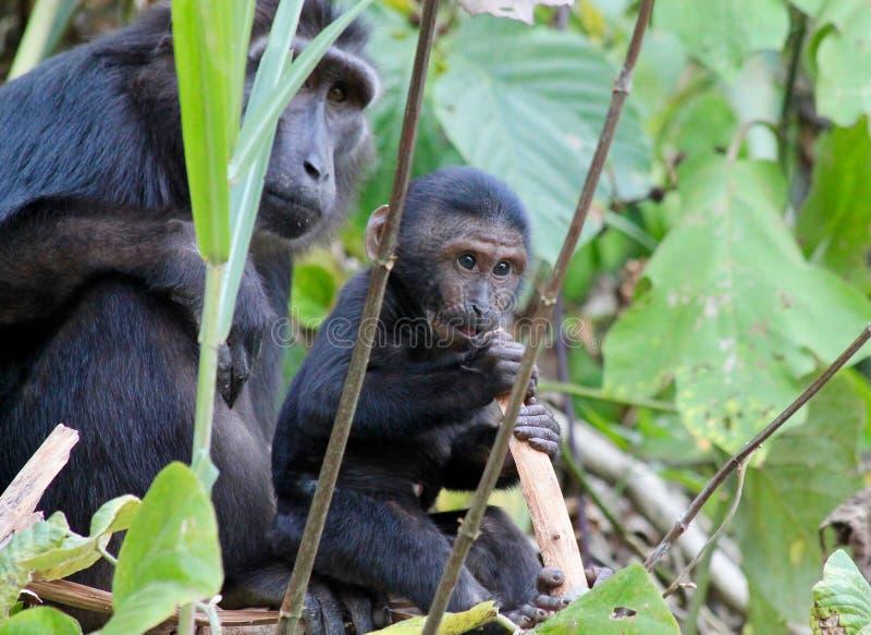 Λοφιοφόρος μαύρος πίθηκος macaque μωρών στοκ εικόνες