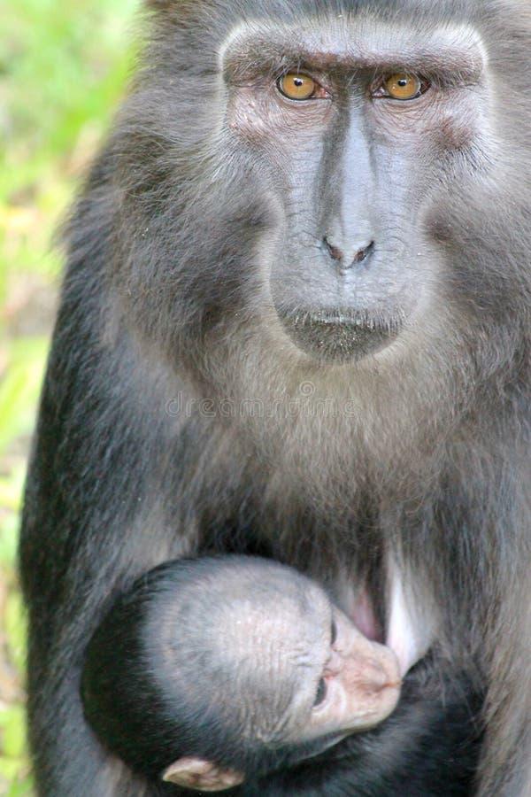 Λοφιοφόρος μαύρος πίθηκος macaque μωρών στοκ φωτογραφία με δικαίωμα ελεύθερης χρήσης