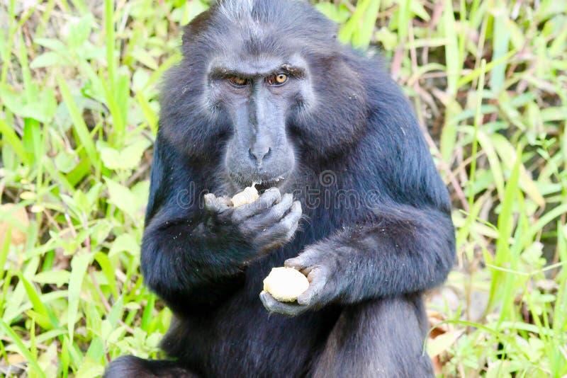 Λοφιοφόρος μαύρος πίθηκος macaque στοκ εικόνα