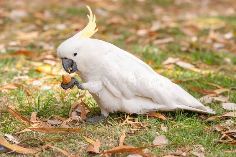 Λοφιοφόρος παπαγάλος Cockatoo θείου στο πάρκο του Σίδνεϊ βοτανικοί κήποι βασιλικ Η λαβή και τρώει τα τρόφιμα τουριστών στοκ εικόνα