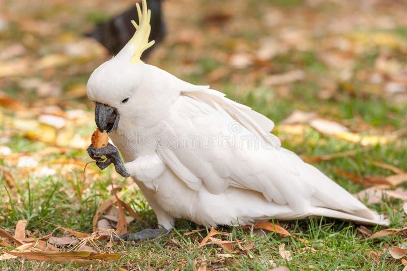 Λοφιοφόρος παπαγάλος Cockatoo θείου στο πάρκο του Σίδνεϊ Σίτιση τουριστών στους βασιλικούς βοτανικούς κήπους στοκ εικόνες με δικαίωμα ελεύθερης χρήσης