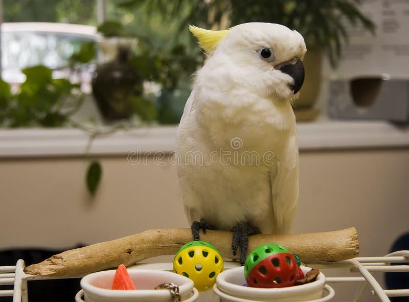 λοφιοφόρο θείο cockatoo στοκ φωτογραφία