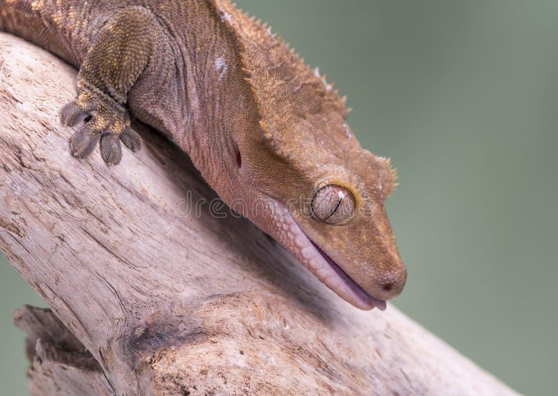 λοφιοφόρο gecko Απομονωμένος σε ένα χαμηλωμένο πράσινο κλίμα Εστίαση στα μάτια στοκ εικόνες με δικαίωμα ελεύθερης χρήσης