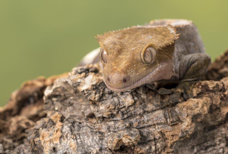 λοφιοφόρο gecko Απομονωμένος σε ένα χαμηλωμένο πράσινο κλίμα Εστίαση στα μάτια στοκ φωτογραφίες